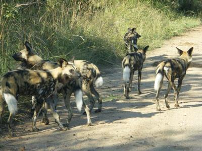 Wilddogs taking their time.