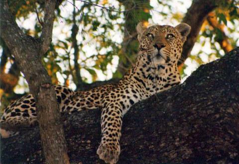 leopard in tree - Kruger Park