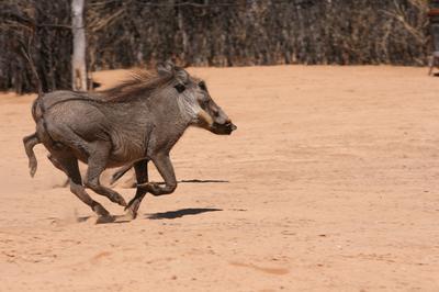 Warthog on the run.