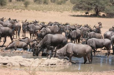 Blue wildebeest gathering for a drink.
