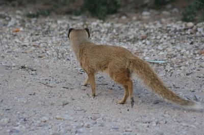 White-tailed Mongoose.