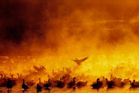 snow geese Fire in the Mist