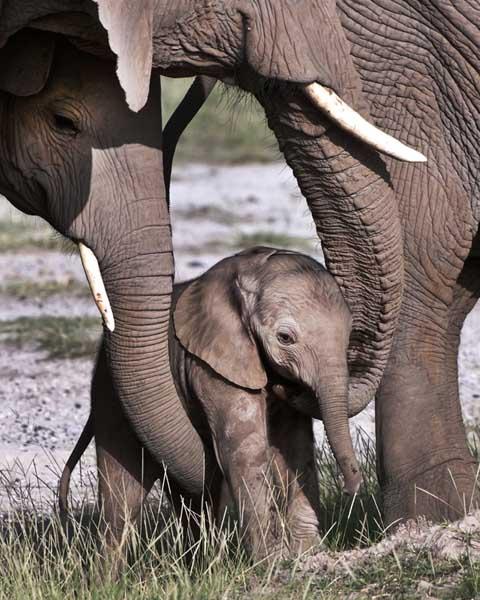 Elephants helping junior