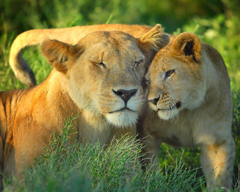 lioness with junior