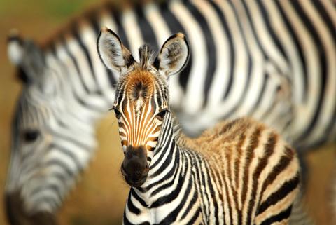 zebra with mom