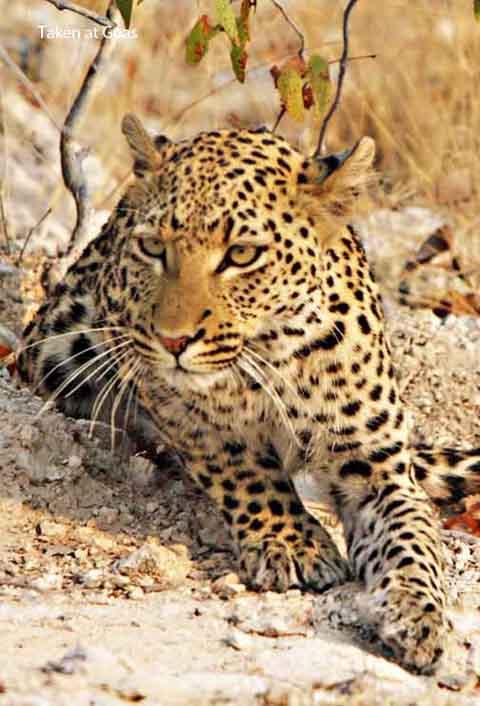 leopard at goas waterhole in Etosha
