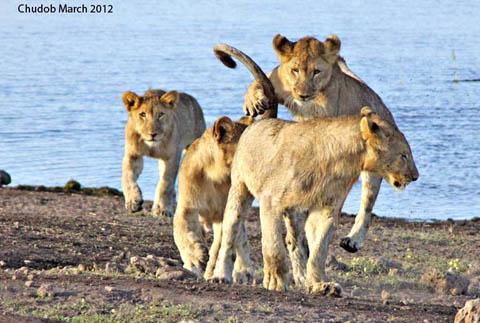 Etosha chudob six month old lion cubs