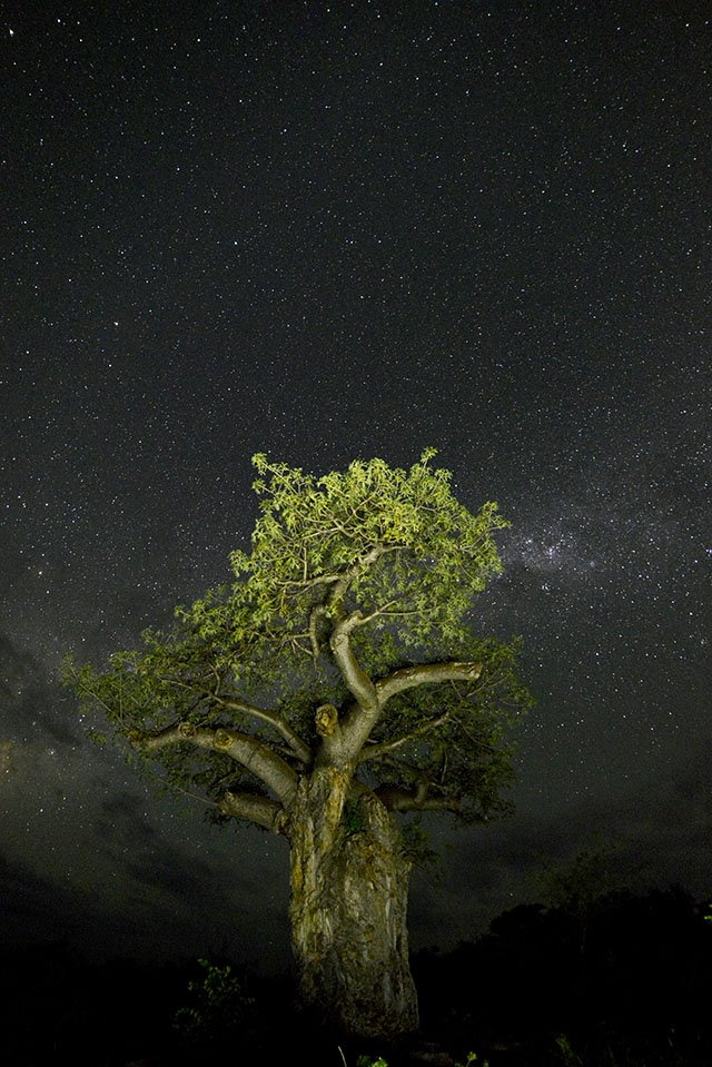 Baobab tree under the stars at Singo