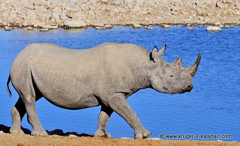 Black rhino at Okaukuejo Etosha