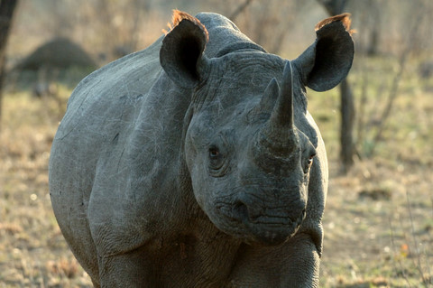 Black rhinoceros, Pilanesberg
