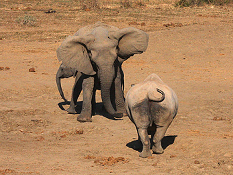 elephant and rhino confrontation
