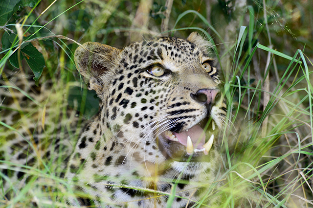 leopard in front of Cheetah Plains lodge