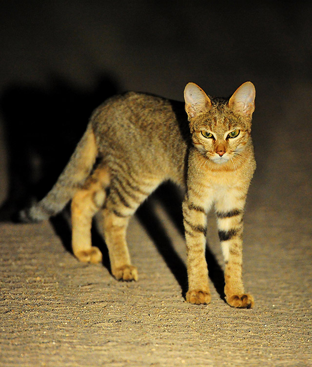 african wild cat