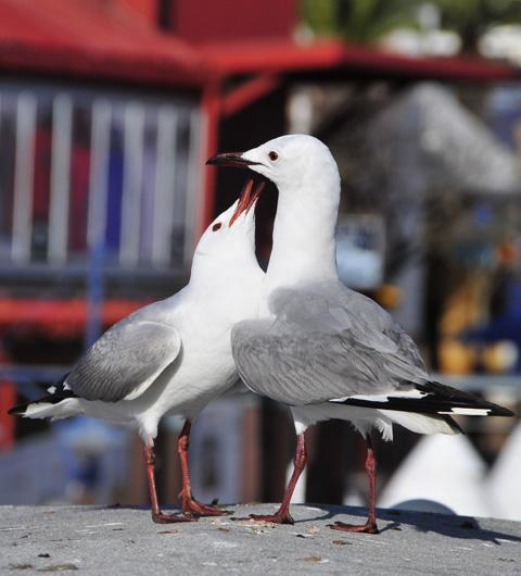 seagull feding junior