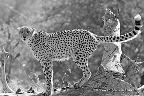 cheetah on tree in Kruger Park