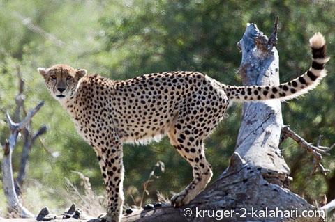 cheetah at midday