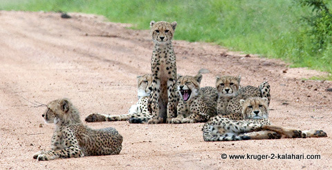 cheetah mother with cubs in Kruger Park