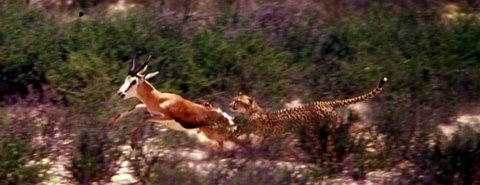'Gotcha' - Cheetah kill