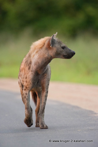 hyena in road