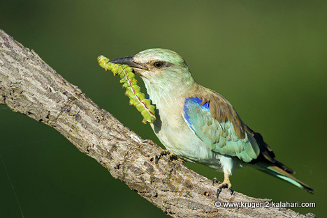 European roller with catch