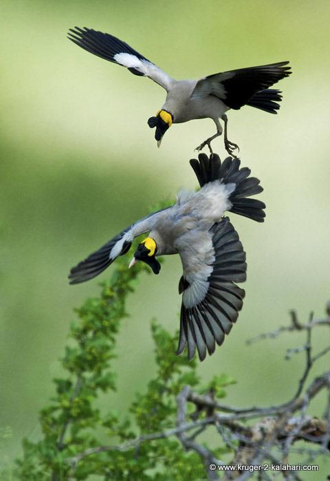 wattled starlings fighting