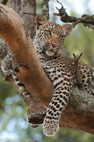 This leopard is one of Legadima's offspring in Mombo Botswana