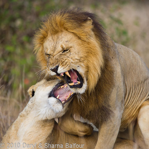 lions mating and snarling