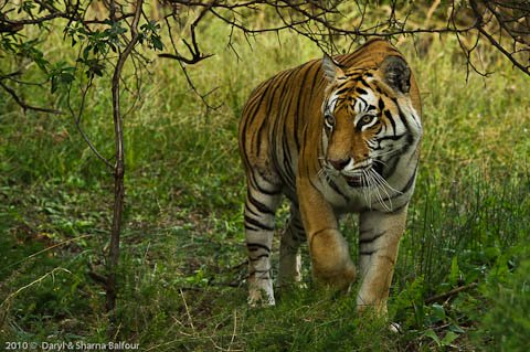 Tiger in South Africa
