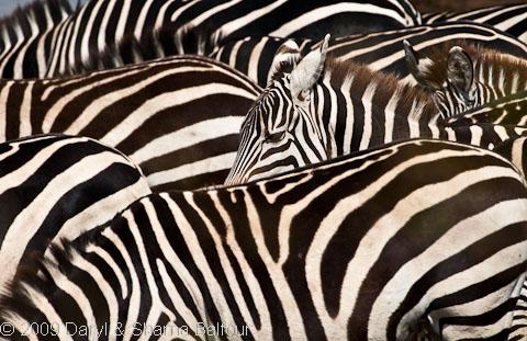 Zebras Okaukuejo Etosha Namibia