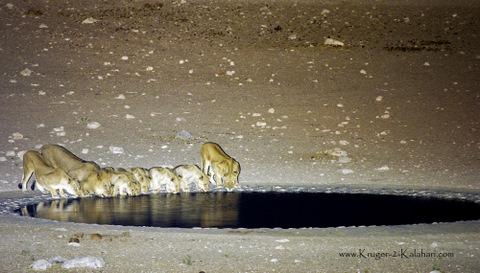 Dolomite lion pride drinking
