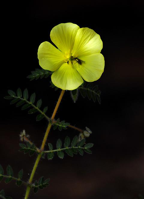 Devils thorn flower