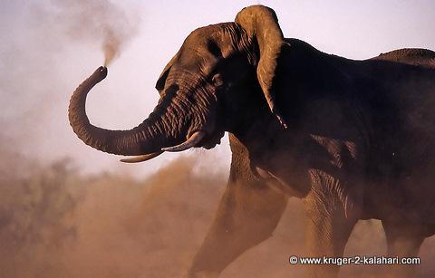 elephant snorting
