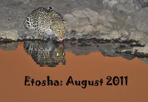 Leopard drinking at Moringa waterhole in Etosha