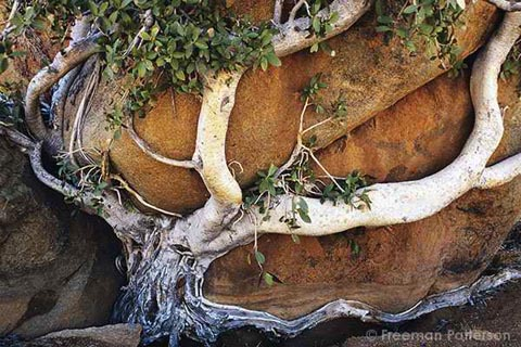 Tree embracing rock in Southern Namibia