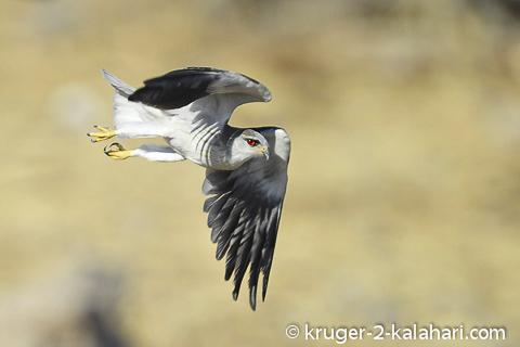 falcon in Etosha