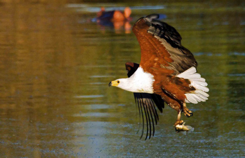 Fish eagle with catch
