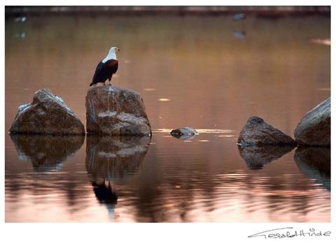 fish eagle at sunset