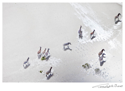zebras on the pan - aerial view