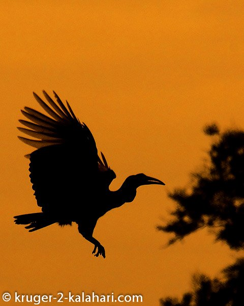 ground hornbill silhouette