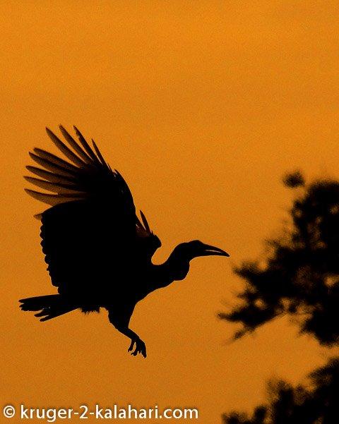 ground hornbill silhouette