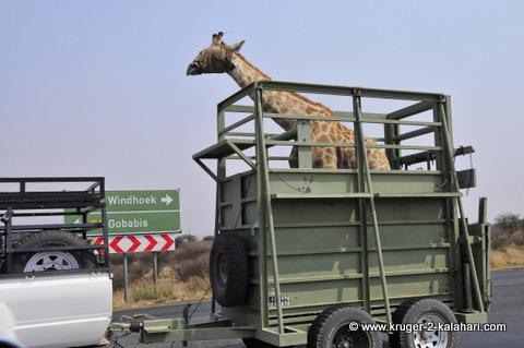 giraffe being transported in trailer