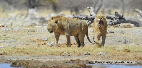 male lions at Goas waterhole