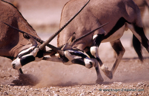 Gemsbok fighting in Kgalagadi