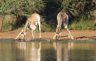 Giraffe at Sunset Dam near Lower Sabie camp
