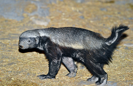 honey badger at Moringa waterhole in Etosha
