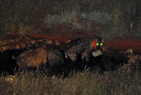 Hyenas in Kieliekrankie waterhole