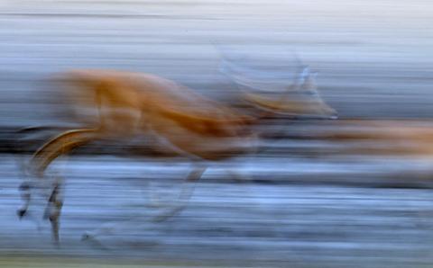 panning - Impala