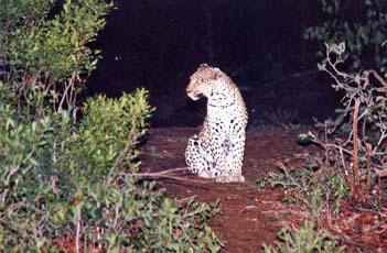 Leopard at Inyati, Sabie Sands game reserve