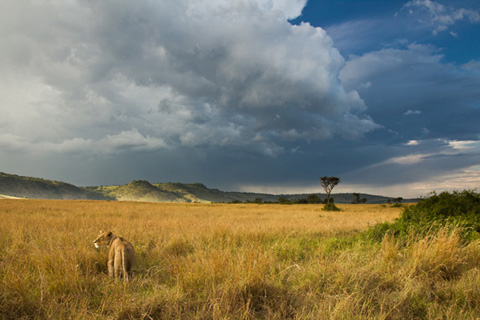 Lion and storm sky
