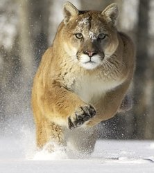 Cougar running in snow